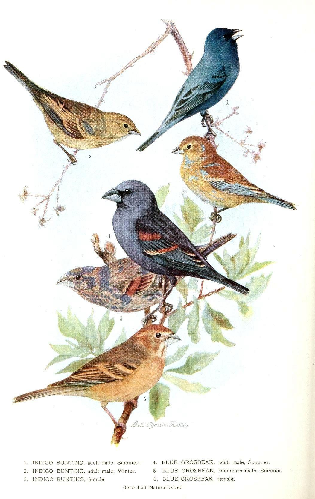 Free Printable - Bird - Indigo Grossbeak   Birds & Cages   Vintage - Free Printable Images Of Birds