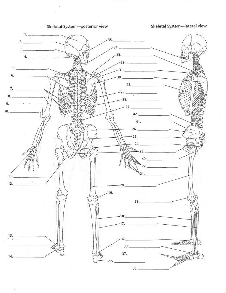 Anatomy Labeling Worksheets - Google Search | I Heart Anatomy - Free Printable Human Anatomy Worksheets
