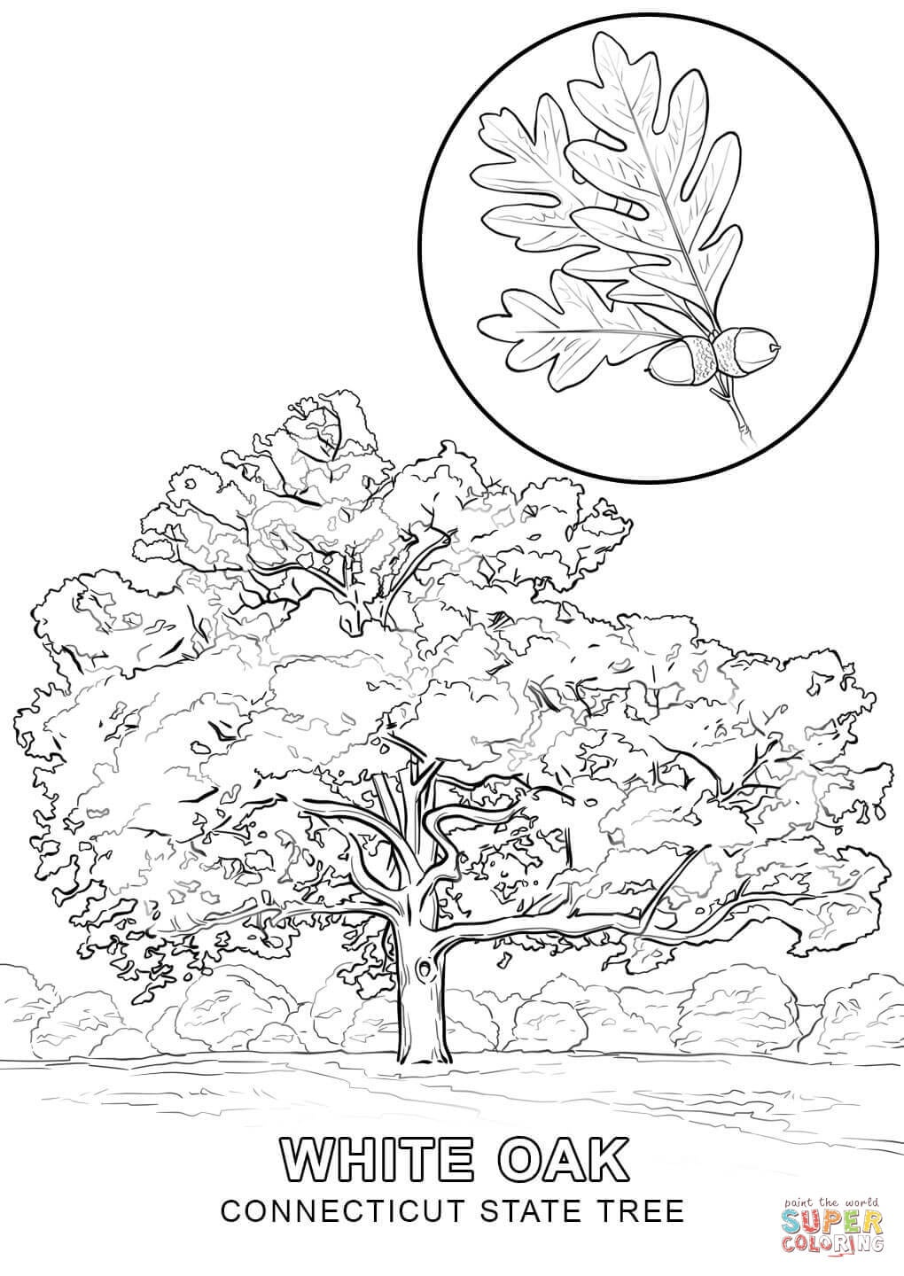 Connecticut State Tree Coloring Page | Free Printable Coloring Pages - Tree Coloring Pages Free Printable
