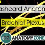Flashcards • Anatomyzone   Free Printable Muscle Flashcards