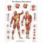 Human Muscle Anatomy . Human Muscle Anatomy Free Printable Human   Free Printable Muscle Flashcards