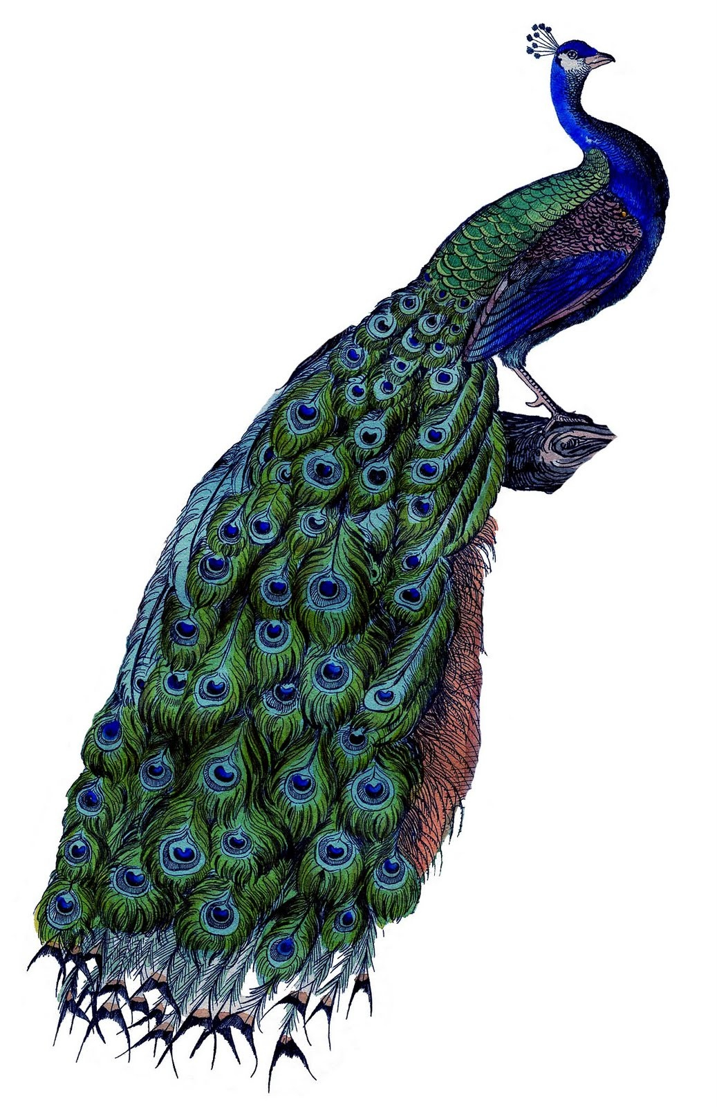 Instant Art Printable Download - Fabulous Colorful Peacock - The - Free Printable Peacock Pictures