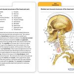Muscle Anatomy Flash Cards And Introduction To Human Anatomy And   Free Printable Muscle Flashcards