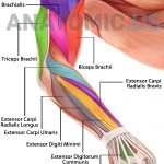 Muscular System   Anatomy Flashcards   Anatomic Muscles Of Face   Free Printable Muscle Flashcards
